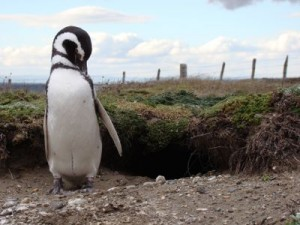 Pingüinera de Punta Arenas, no Chile