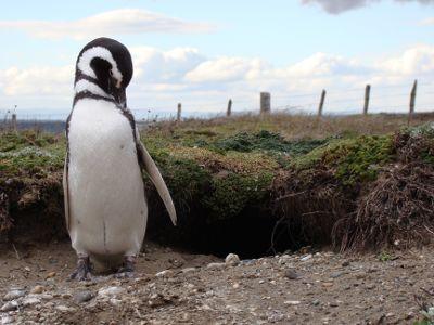 Pinguim em frente a sua toca. Punta Arenas, Chile