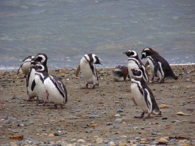 Pinguinera em Punta Arenas, Chile