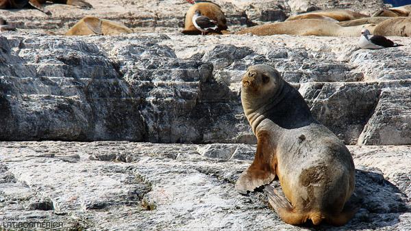 Isla de los Lobos, Canal Beagle.