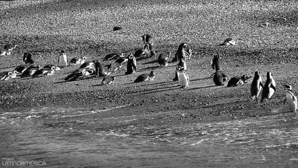 Pinguinera, Canal Beagle